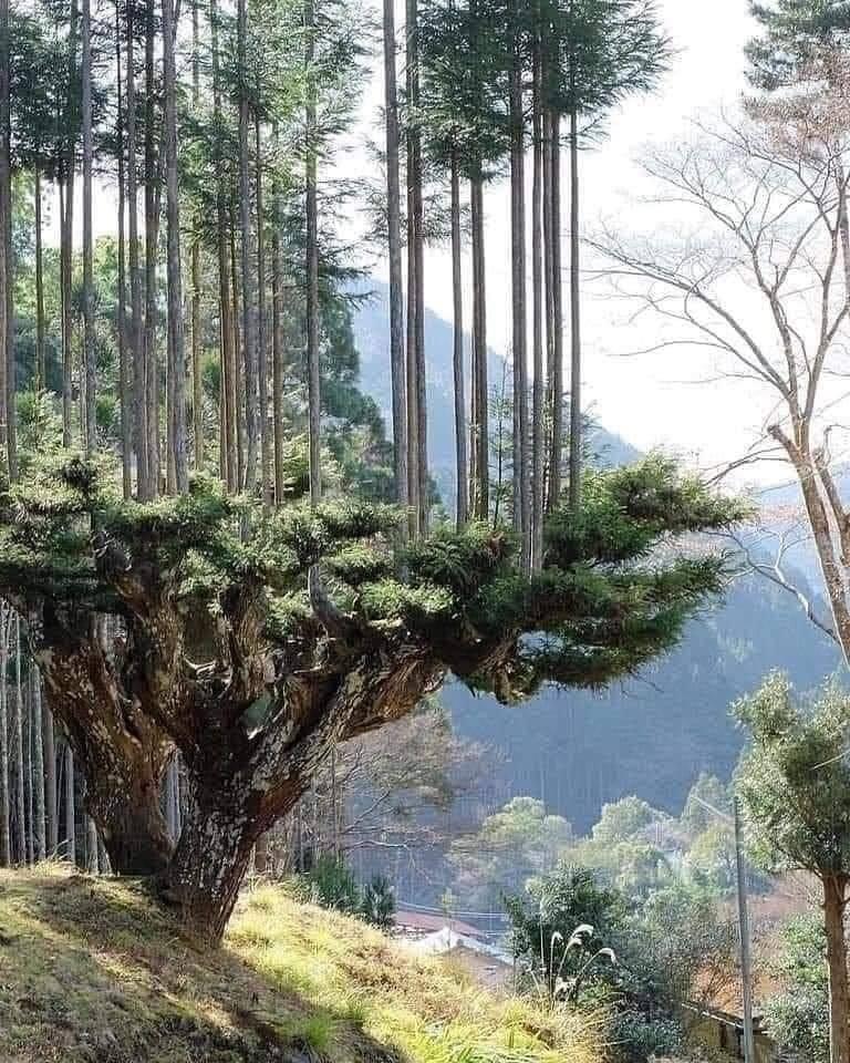 Daisugi-AncientJapanese-Tree-Technique